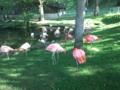 旭山動物園・フラミンゴ