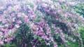 数珠なりの桜!?