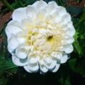 菊の一種!?