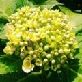 ウチの庭の紫陽花(蕾)
