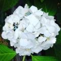 ウチの庭の紫陽花(白)