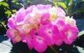 ウチの庭の紫陽花(ピンク)