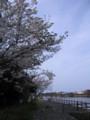 [屋久島][さくら]宮之浦川沿いのさくら