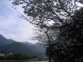 [屋久島][さくら]宮之浦のさくら