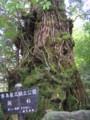 [屋久島]翁杉
