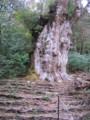 [屋久島]縄文杉