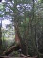 [屋久島]白谷雲水峡三本足杉
