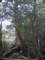 白谷雲水峡三本足杉