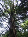 [屋久島]白谷雲水峡三本足杉上部