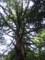 白谷雲水峡三本足杉上部