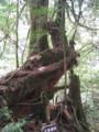 [屋久島]白谷雲水峡  三本やり杉