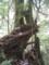 白谷雲水峡  三本やり杉