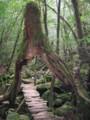 [屋久島]白谷雲水峡