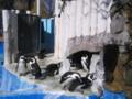 上野動物園ケープペンギン