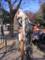 上野動物園のオナガドリ