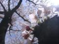 [さくら]早稲田(神田川べり)