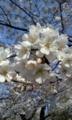 [さくら]桜