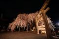 『京都新聞写真コンテスト 鳥居を跨ぐ大石桜』