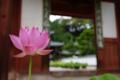 『京都新聞写真コンテスト 門前お迎えの蓮』