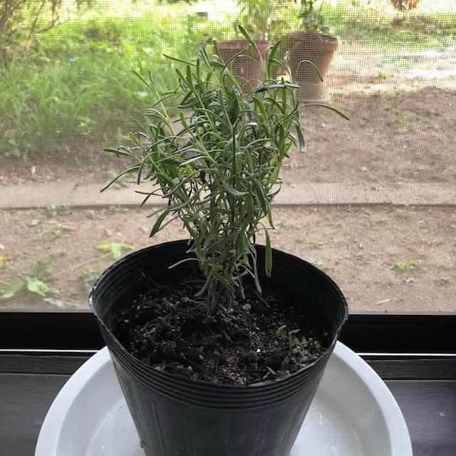 英彦山のラベンダー苗