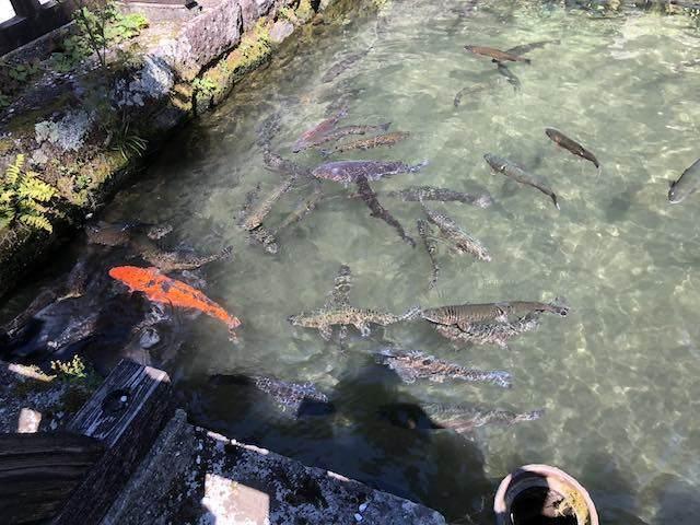 鯉とヤマメ