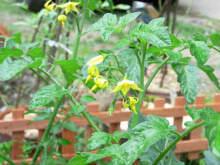 プチトマトの花