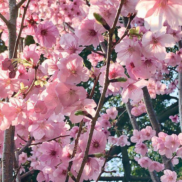 桜茶に使った桜