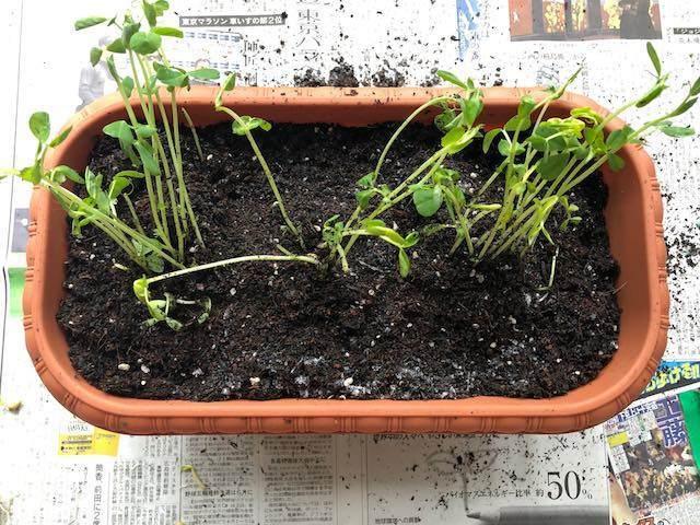 豆苗を植えてみました。