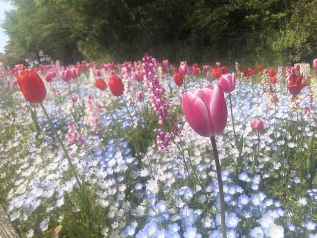 チューリップ、ネモフィラ、姫金魚草の花畑