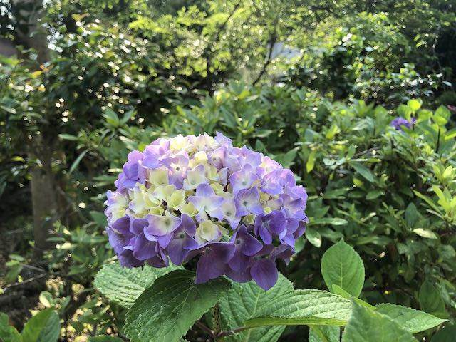 紫に色づく紫陽花