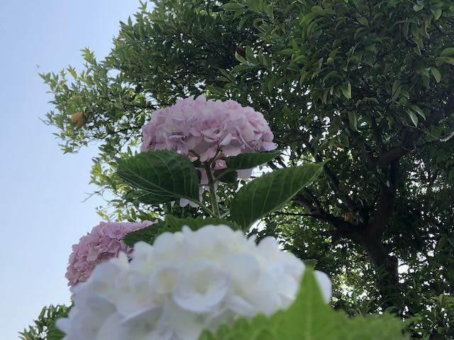 薄いピンクの紫陽花