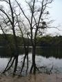 [樹]湖の樹