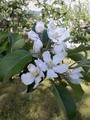 [花]りんごの花1