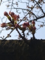 [花][桜]桜のつぼみ1