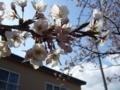 [花][桜]桜4
