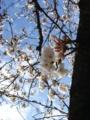 [桜][花]桜3