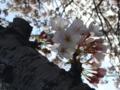 [桜][花]桜2
