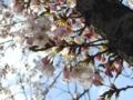 [桜][花]桜1