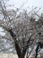 [花][桜]桜090425_1