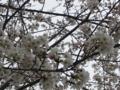 [花][桜]桜090425_2