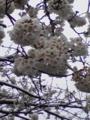 [雪][花][桜]雪の中の桜1