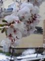 [雪][花][桜]雪の中の桜2