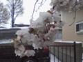 [雪][花][桜]雪の中の桜3