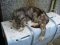 [ネコ]寝ている猫