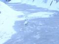 [冬][雪][自然]凍った川の上を歩く白鳥1