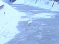 [冬][雪][自然]凍った川の上を歩く白鳥2