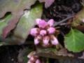 [自然][花]ヒマラヤユキノシタのつぼみ