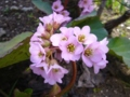 [花][自然]ヒマラヤユキノシタ