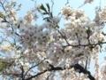 [桜]桜1