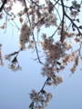 [自然][花][桜]桜2
